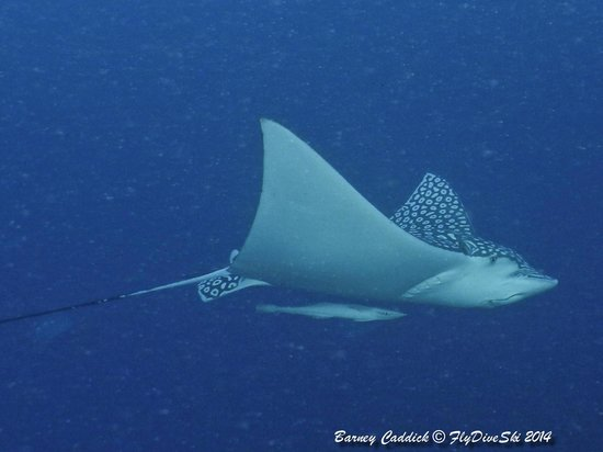 Diverspoint: eagle ray