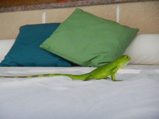 The Westin Grand Cayman Seven Mile Beach Resort & Spa: lizard