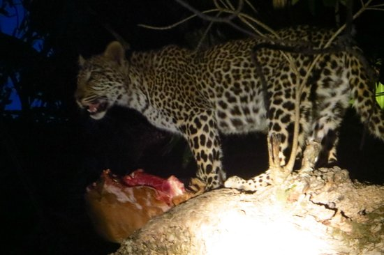 andBeyond Kirkman's Kamp: Spotlight view of leopard devouring it's night time snack