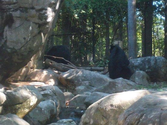 North Carolina Zoo: black bear