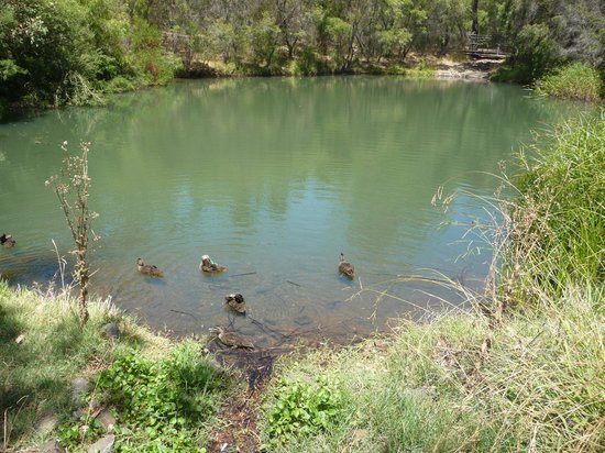Ducks swimming in the Meelup Beach pond