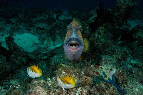 One Ocean: The Zanzibar Dive Center: Trigger Fish