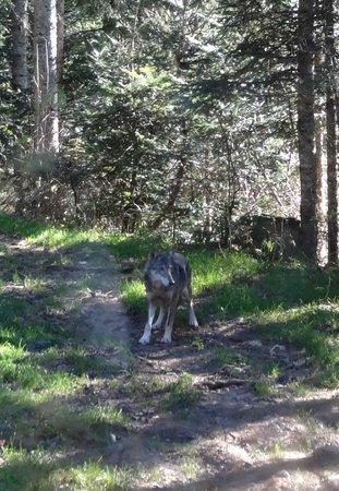 Parc Alpha : Diana, la jeune louve italienne