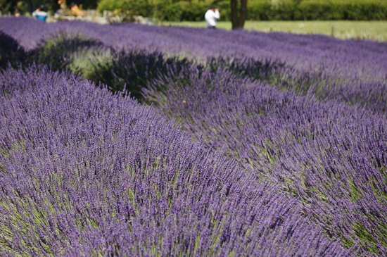 Alphra Lavenders: Lavender