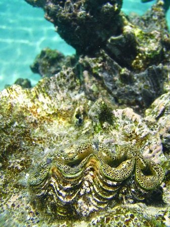 Little Polynesian Resort: Clams amongst the coral life