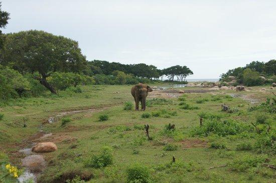 Yala National Park: Elephant
