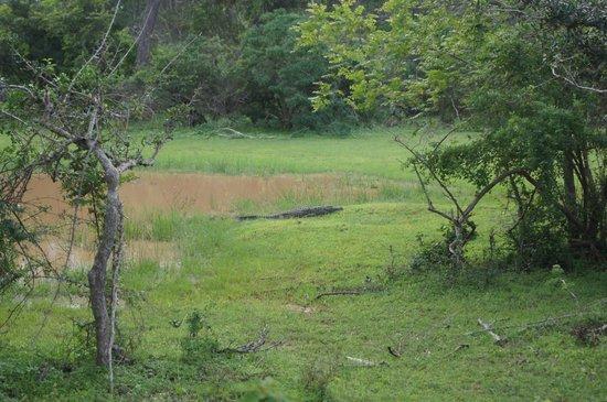 Yala National Park: Croc