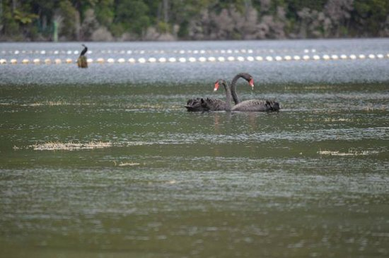Lakes Lodge Okataina : Black Swans