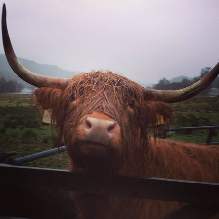 The Hairy Coo - Free Scottish Highlands Tour : Poor little wet hairy coo