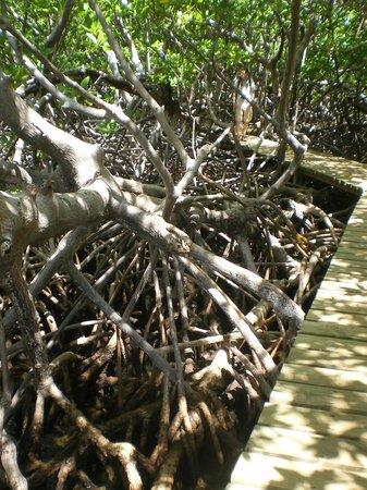 Caravelle Peninsula: la mangrove
