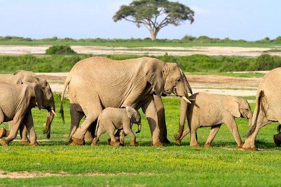 Tortilis Camp: Amboseli Elephants are numerous - thankfully