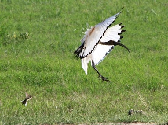 Tortilis Camp: Incoming Ibis