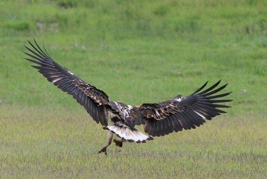 Tortilis Camp: A young fish eagle