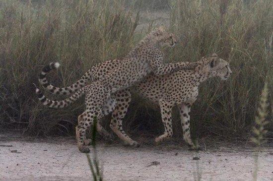 Tortilis Camp: Cheetahs in the mist