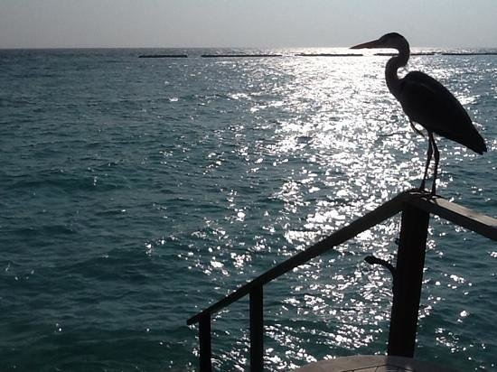 Veligandu Island Resort & Spa : The Resort Stork on our veranda