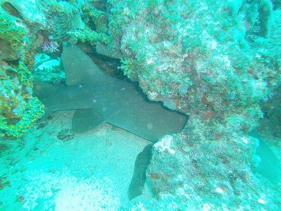ScubaTech Grenada: Nurse Shark