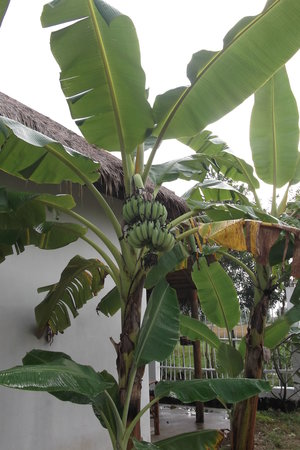 Carpe Diem: banana tree