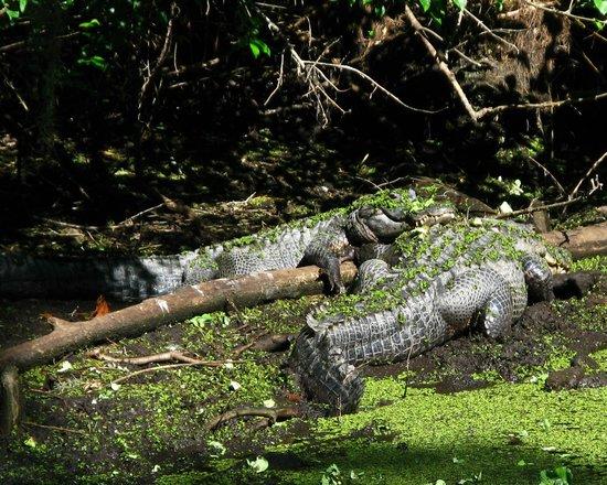 Corkscrew Swamp Sanctuary: Gators