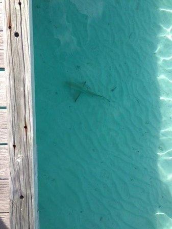 Gili Lankanfushi Maldives: black-tip shark