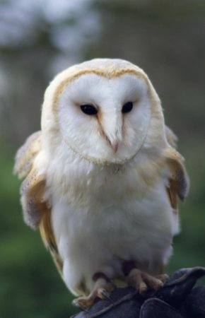 Inverlochy Castle Hotel: Dangerous Dave the barn owl