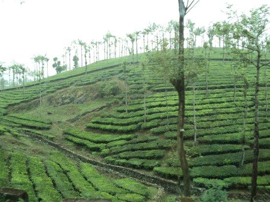Munnar - Terrace Greens, A Sterling Holidays Resort: Tea-Estates - Munnar