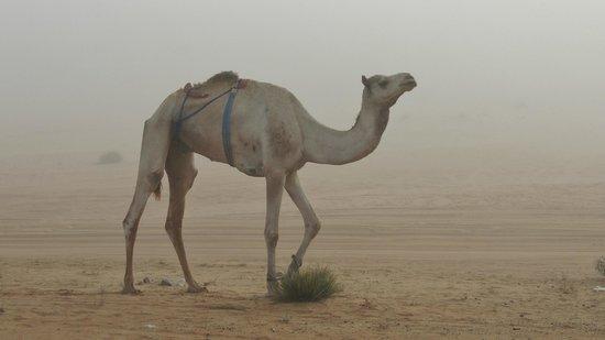Desert Nights Camp: vaisseau du désert dans la brume du matin