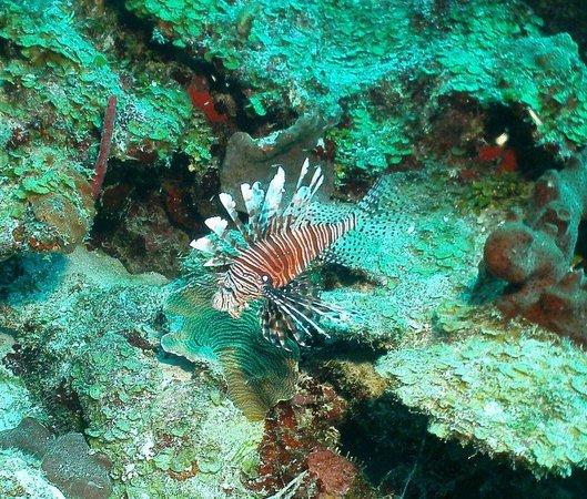 Hamanasi Adventure and Dive Resort: Lion Fish