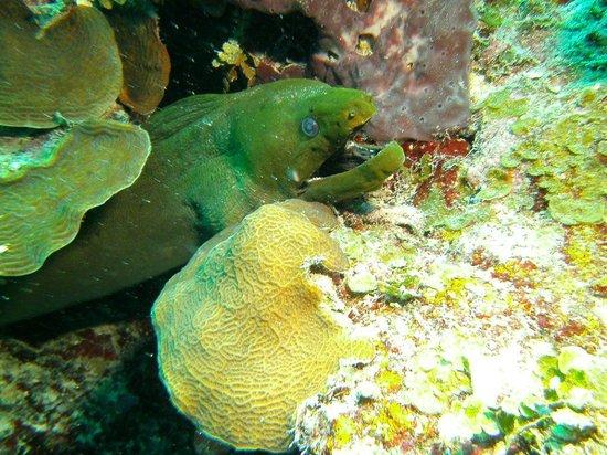Hamanasi Adventure and Dive Resort: Green Moray