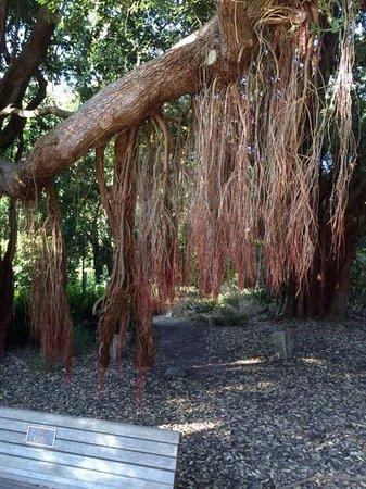 San Francisco Botanical Garden: New Zealand Christmas Tree