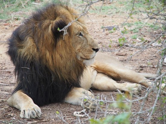 Kapama Karula : lion on the game drive