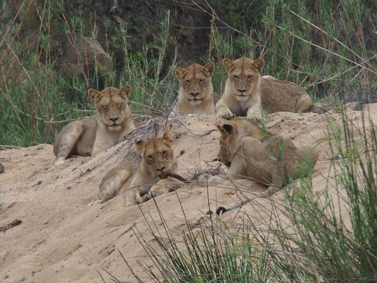 Kapama Karula : lions on the game drives