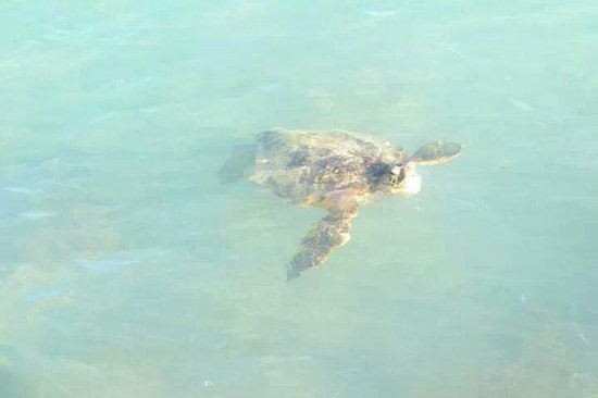 Outrigger Reef Waikiki Beach Resort: Very special moment seeing the turtle outside the hotel