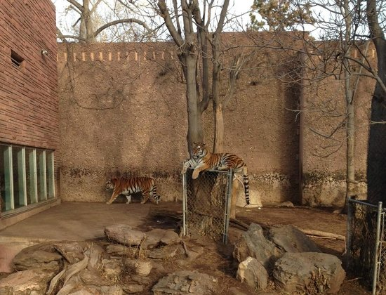 Denver Zoo: Siberian tigers