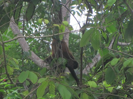 Finca Exotica Ecolodge: A spider monkey in a tree near the hotel