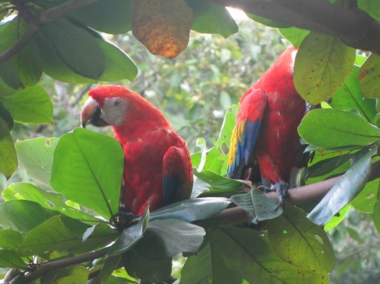 Finca Exotica Ecolodge : A pair of Scarlet Macaws right in front of the dining room