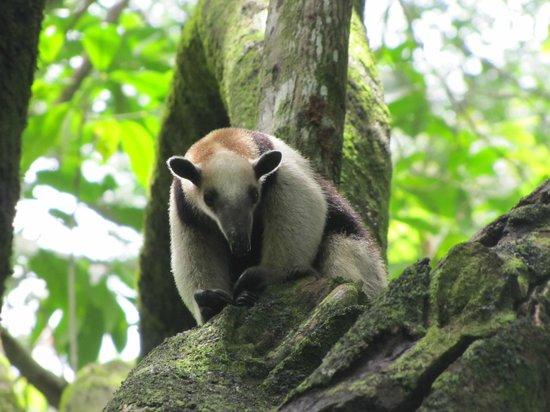 Finca Exotica Ecolodge: A tamandua in Corcovado National Park