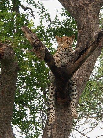 Lion Sands Ivory Lodge: leopard