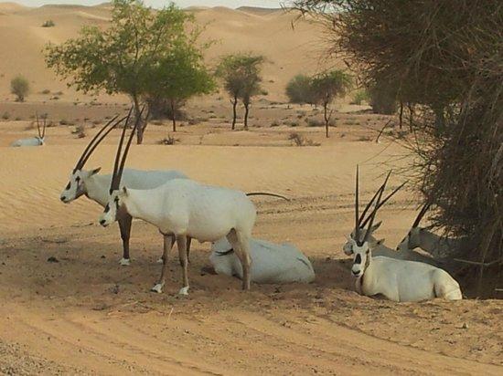 Al Maha, A Luxury Collection Desert Resort & Spa : Groupe d'oryx à proximité de l'hôtel