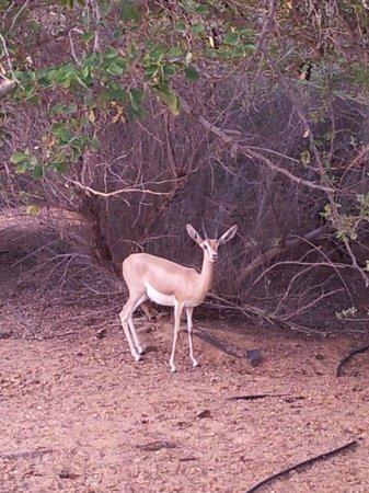 Al Maha, A Luxury Collection Desert Resort & Spa : Gazelle à proximité de la suite