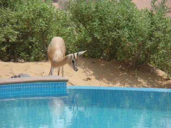 Murqquab, Vereinigte Arabische Emirate: Petite gazelle s'abreuvant à notre piscine