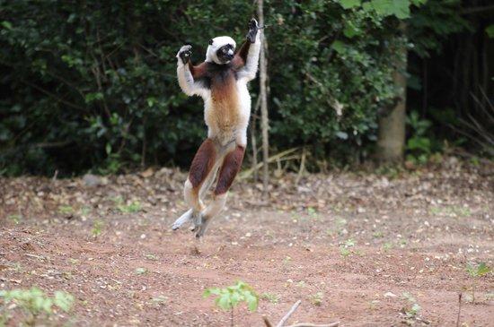Anjajavy L'Hotel : Lemurs in the resort grounds