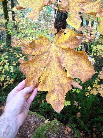 Steamboat Inn: big leaf!