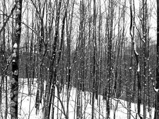 Berkshires Shirakaba Guest House: Shirakaba (white birch) trees