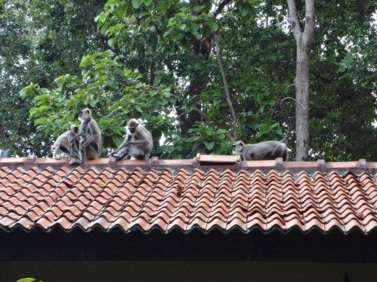 Hotel Sigiriya: monkeys on roof