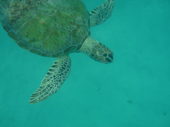 Sugar Cane Club Hotel & Spa: Snorkelling with the greenback turtles