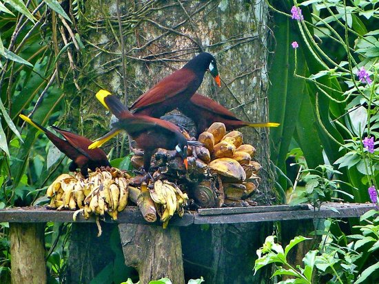 La Carolina Lodge: Montezuma Oropendulas