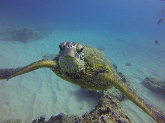 Oahu Diving: Turtles!
