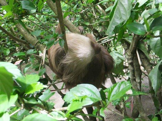 Foundation Jaguar Rescue Center : Three-toed sloth at Jaguar Rescue Center