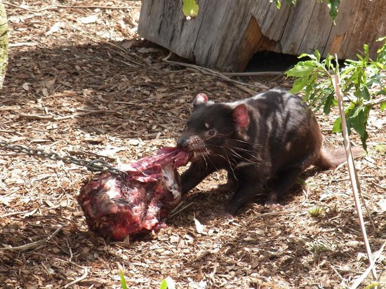 Hunter Valley Zoo: Tasmanian Devil feeding time