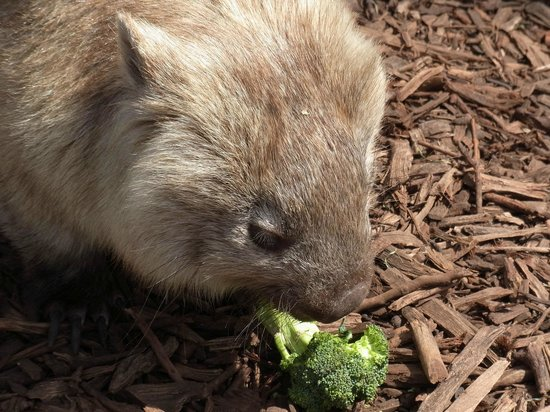 Hunter Valley Zoo: Wombat